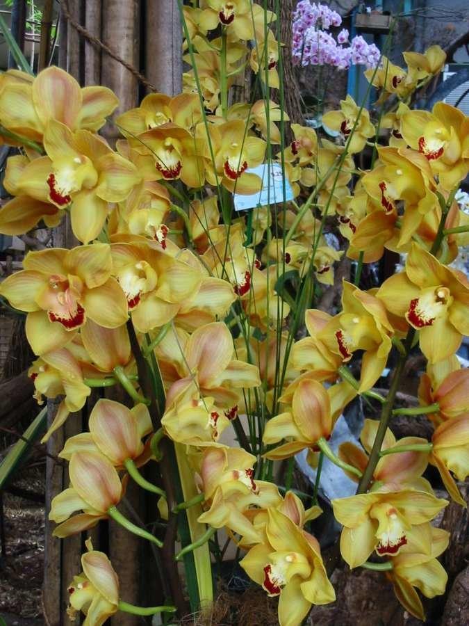 orchidées en grappes  Paris