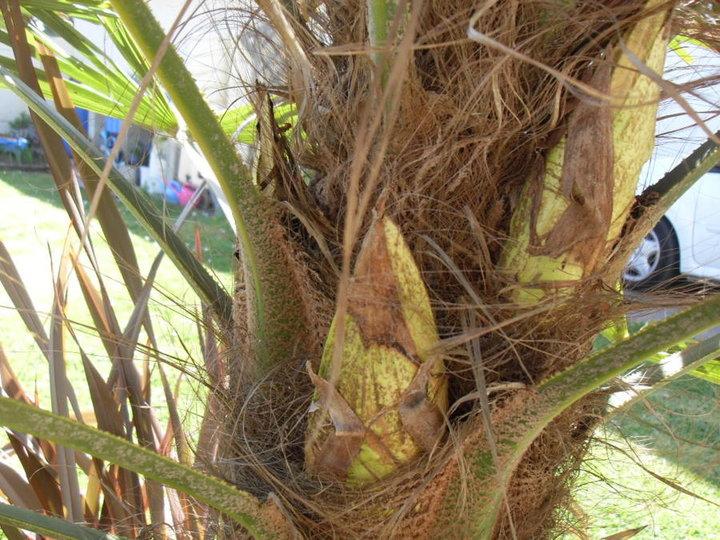 Palmier Male 'Trachycarpus forténea'