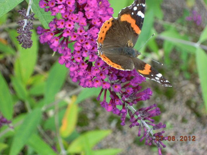 .papillon