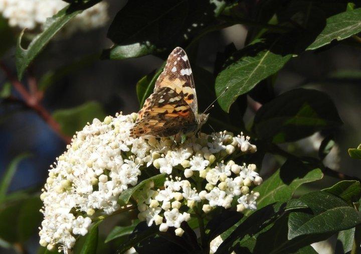 Papillon sur laurier thym