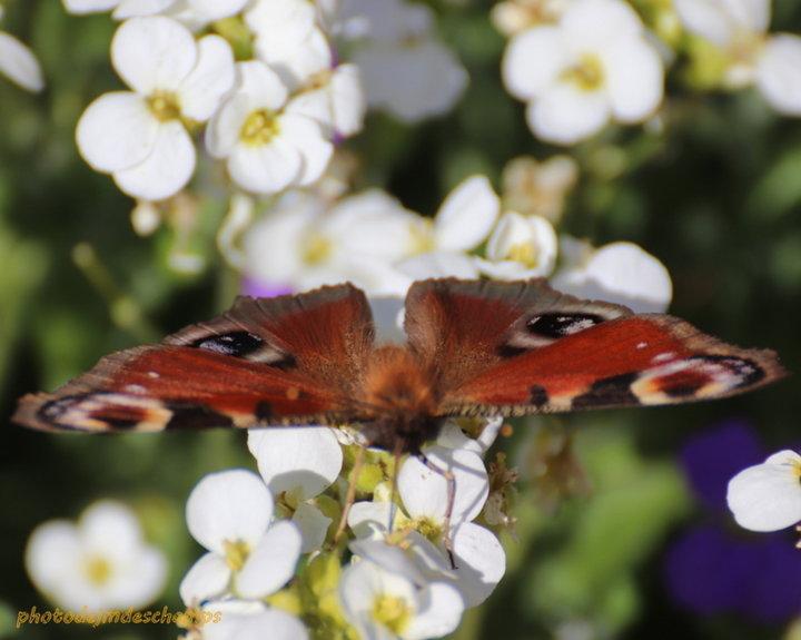 Papillon Vulcain 2ème photo