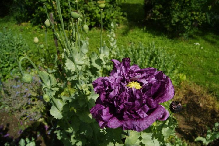 Pavot double violet