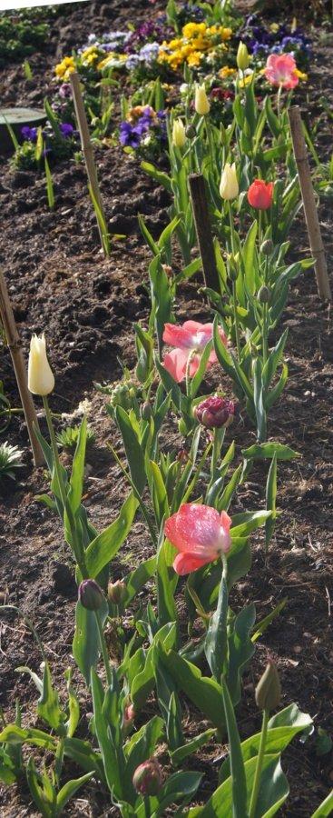 Pensées tulipes