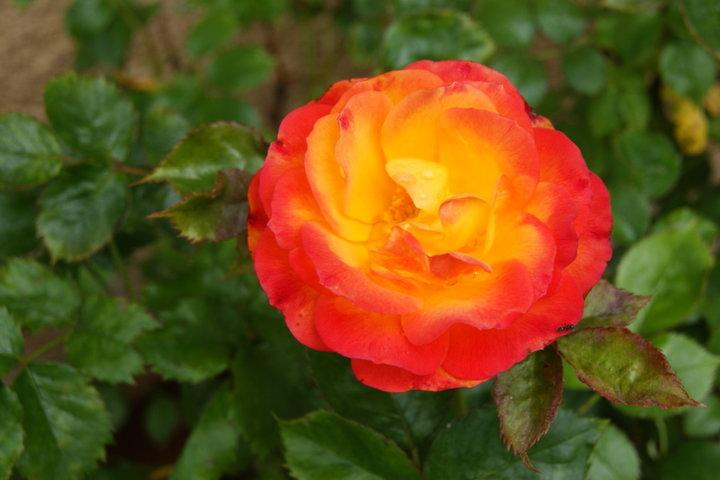 Petit rosier orange