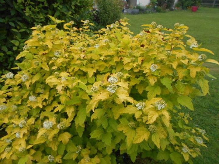Physocarpus gold