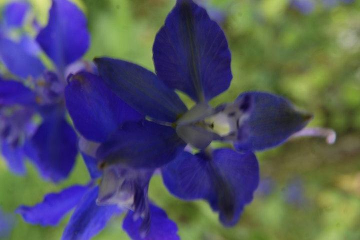 Pied d'alouette bleu