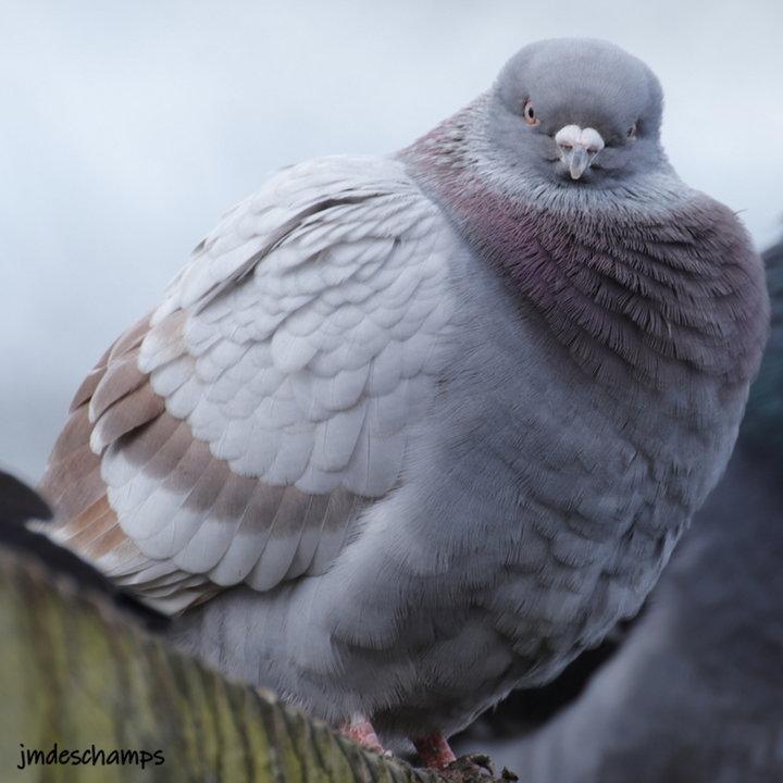 Pigeons Domestique