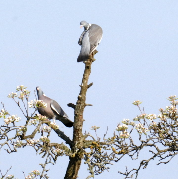 Pigeons ramier