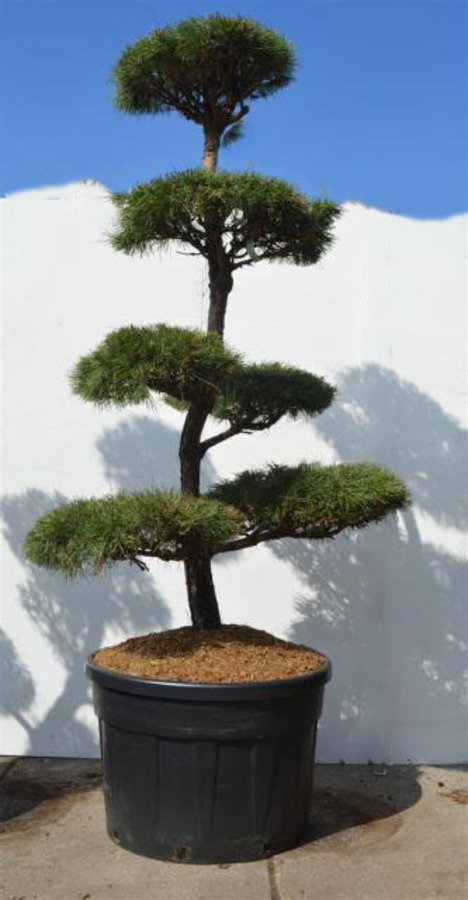 Pin sylvestre bonsai