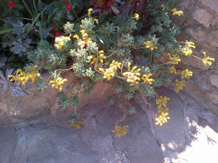 Plante grasse en fleurs