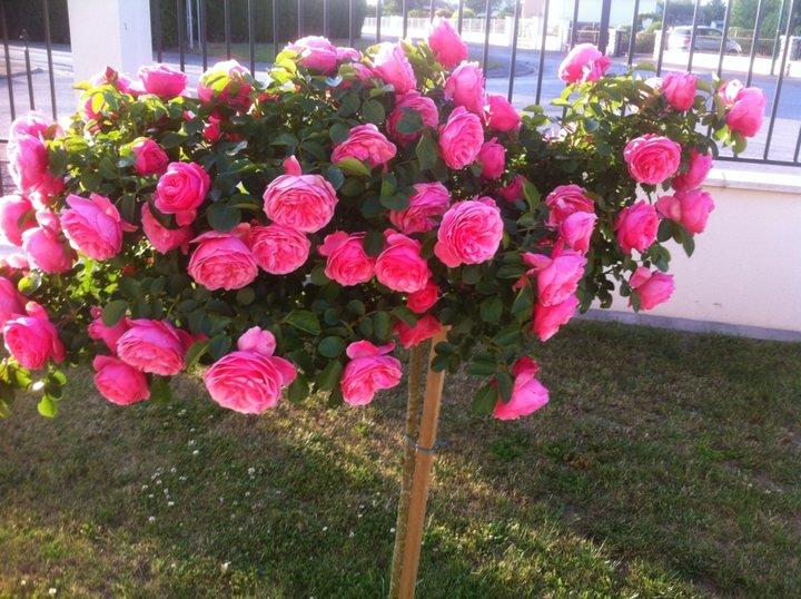 Plein de roses