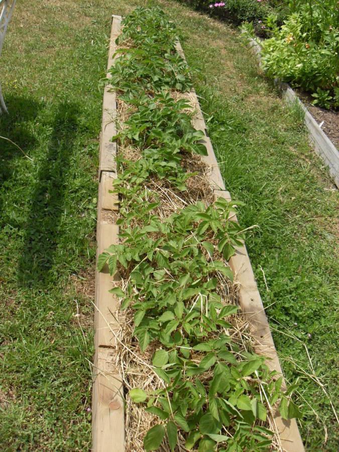 Pomme de terre sur gazon(deux variétés)chérie et? 30 plans