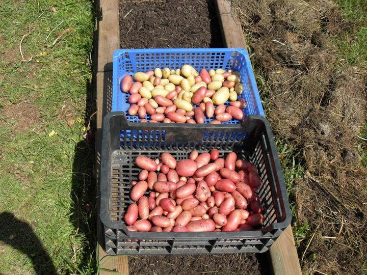 Pommes de terre récoltées mi juin