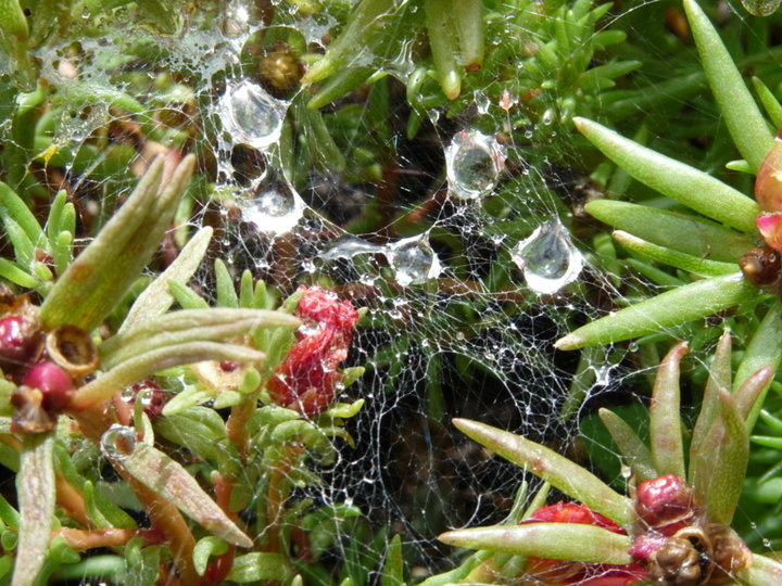 Pourpier, pluie, toile araignée