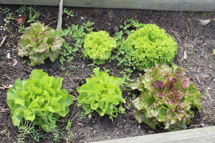 Premières  salades