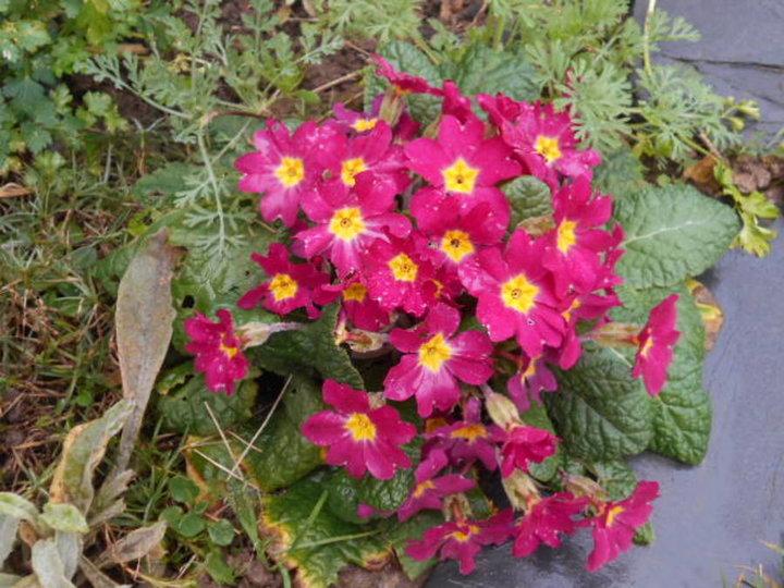 Primevere rose fonce