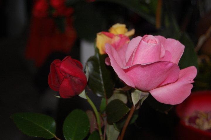 Quelques echantillons de mes roses de jardin....