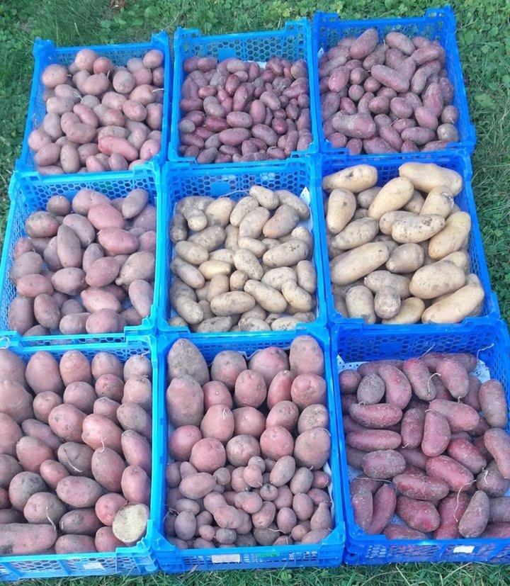 Récolte de pommes de terre 2016