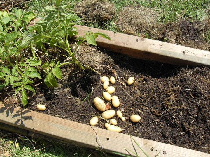 Récolte des pommes de terre très facile à enlever et trés propres