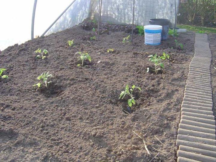 Repiquage des tomates