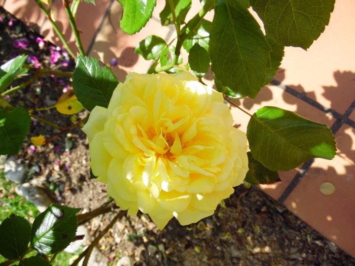 Rose .. jaune ..