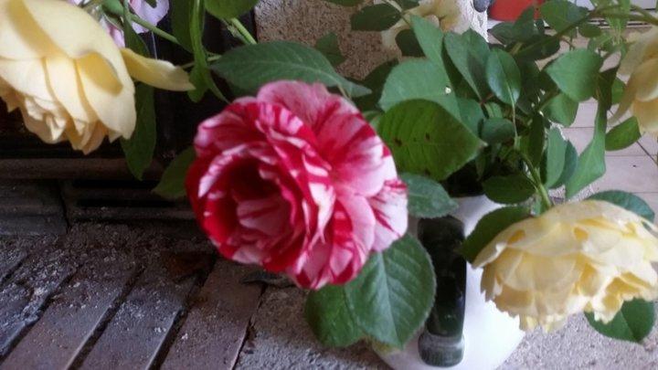 Rose marbrée