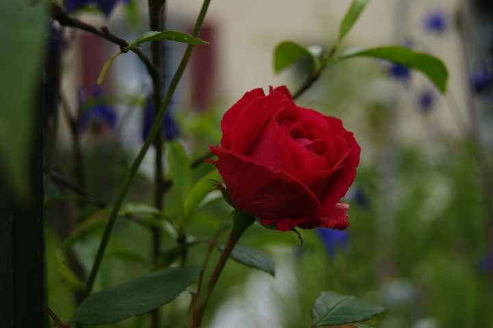 Rose parphumée