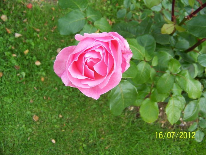 rose QUEEN ELISABEHT