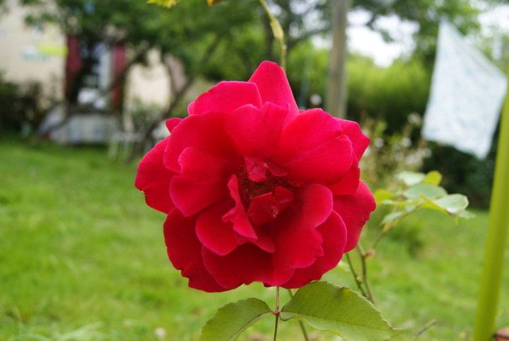 Rose rouge  (rosier remontant parfumé )