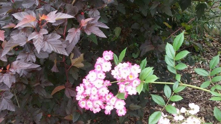 Rosier Mozart sur fond de Physocarpus diabolo