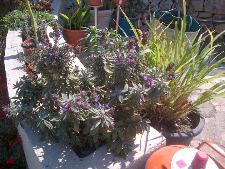 Sauge en fin de floraison