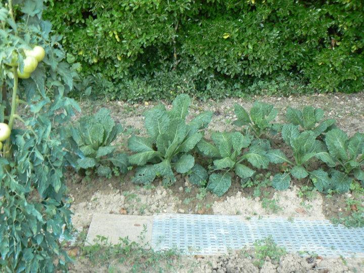 Semis de radis noir.