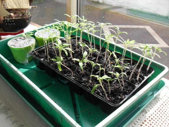 Semis de tomates 2016