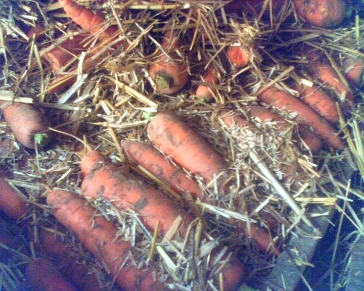 Stockage des carotte
