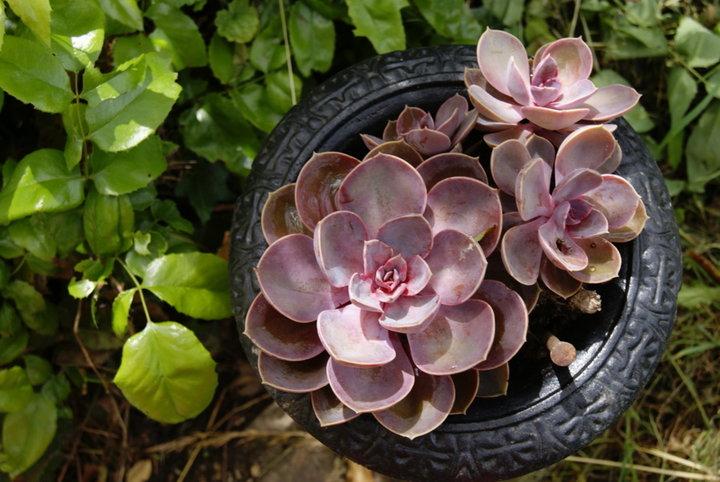 Succulentes