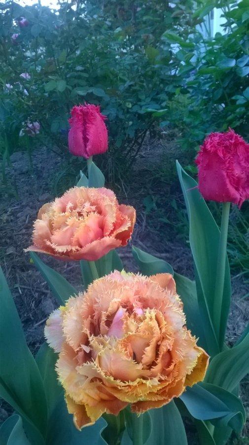 Superbes tulipes