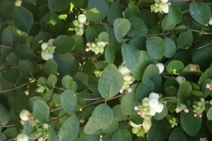 Symphoricarpos magical arbuste