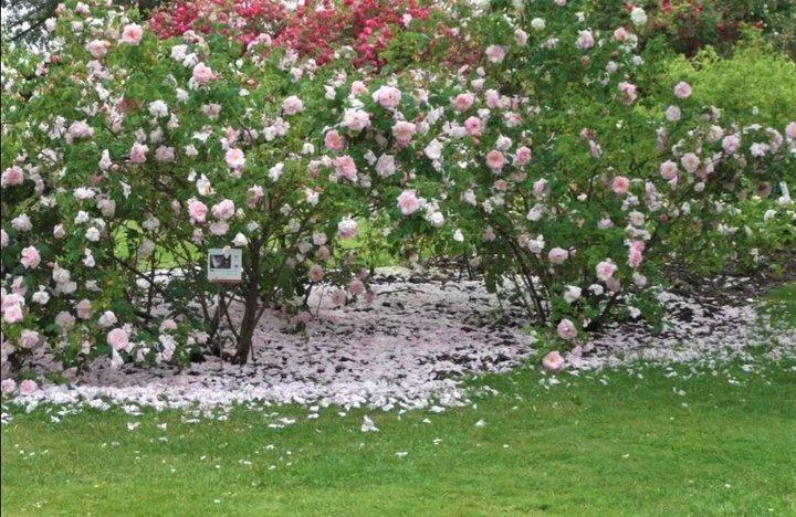 Tapis de roses parfumées ....