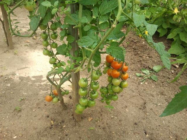 Tomates cerises (grappe)