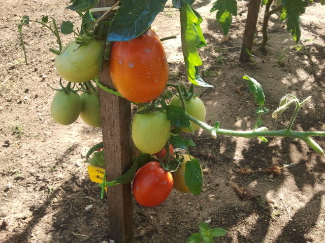 Tomates Olivettes...