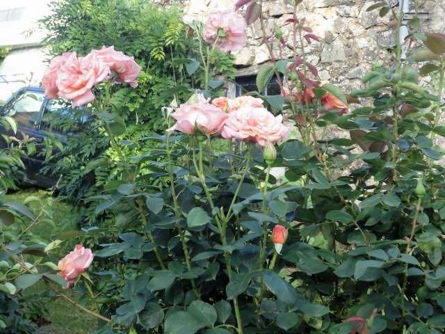 Toujours les roses