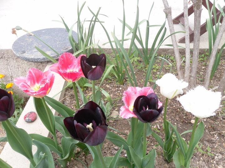 Tulipes, c'est mes premières !!!