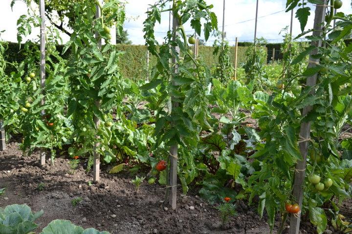 Un des 4 rangs de tomates
