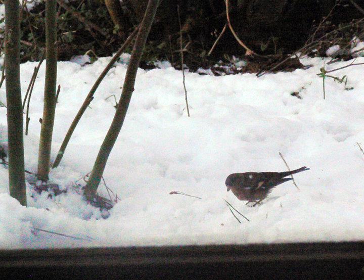 Un piaf dans la neige