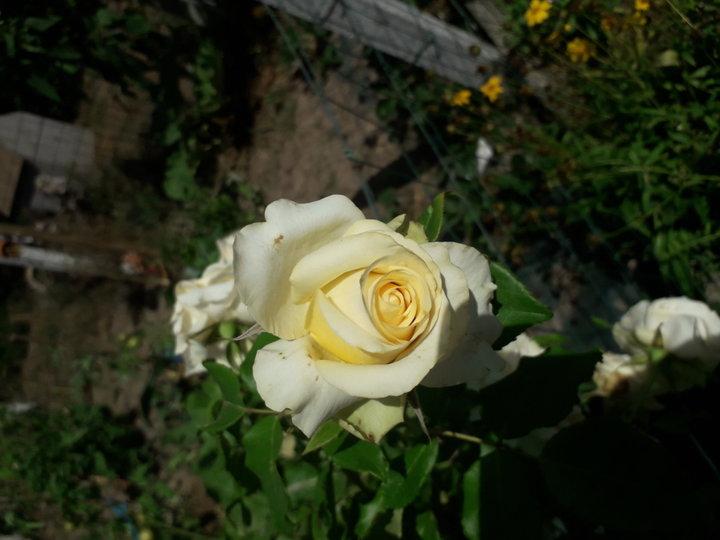 Une jaune pâle