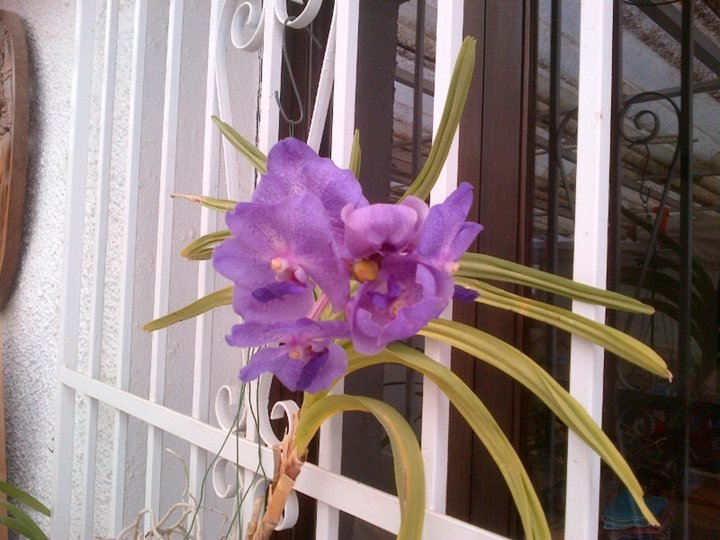 Vanda , 5ème fleuraison