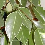 Ficus benjamina - Figuier pleureur