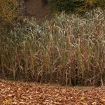Massette - Typha