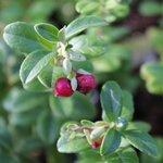 Airelle rouge - Vaccinium vitis-idaea
