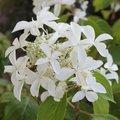 Hydrangea paniculata Great Star 'Le Vasterival'